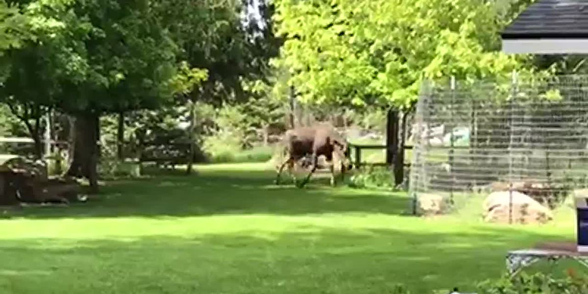 You may be having a good day, but is it as good as a moose playing in a sprinkler kind of day?