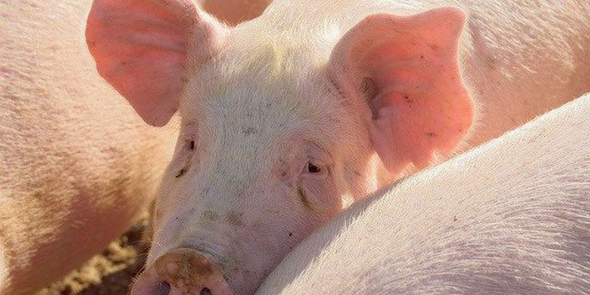 Manure from millions of hogs fuels natural gas project
