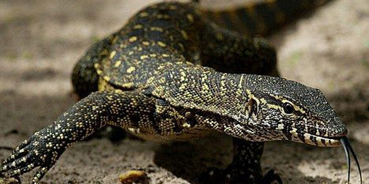 Waging war against the Nile monitor in Florida
