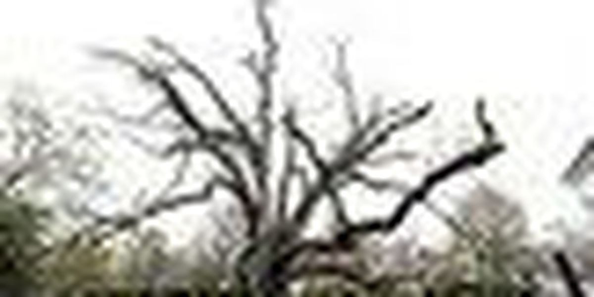 600-Year-old tree that witnessed history removed