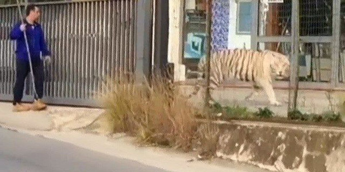 Tiger escapes from circus, roams streets