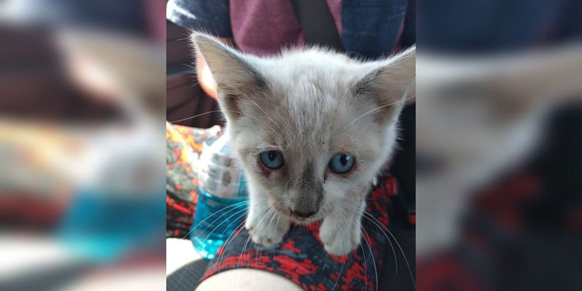 Kittens are being tossed from vehicles onto bridges in North Carolina, sheriff says