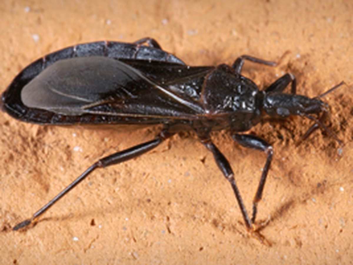Blood-sucking 'kissing bug' reported throughout southern US, moving north