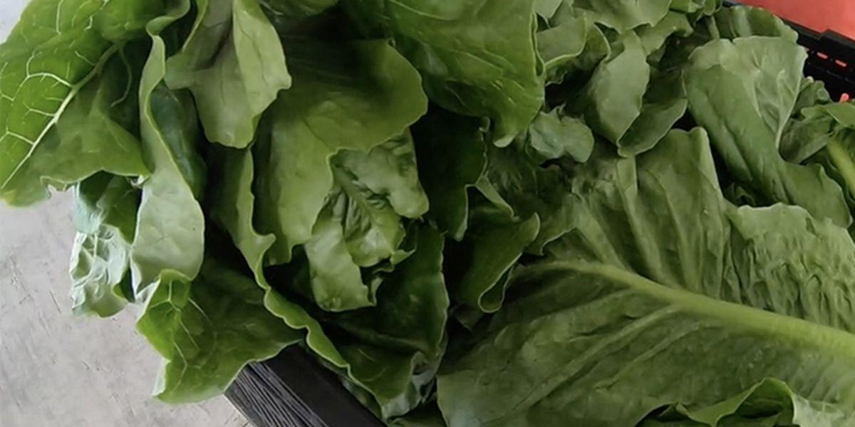 CDC says Florida romaine lettuce safe to eat