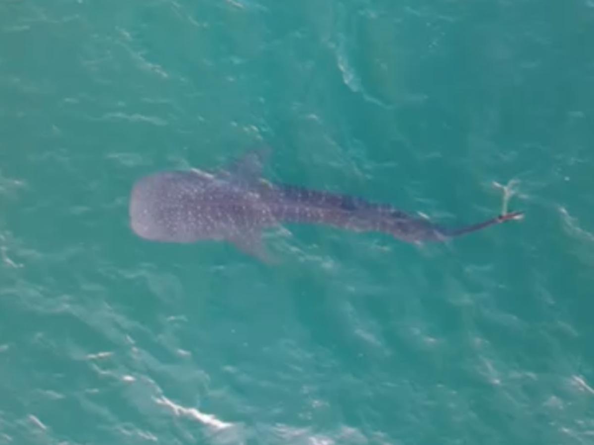 Whale shark spotted near Stuart Beach
