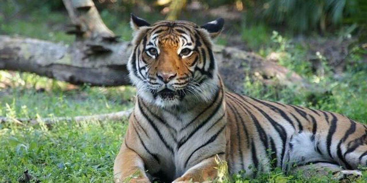 PB Zoo mourn loss of Malayan tiger Berapi