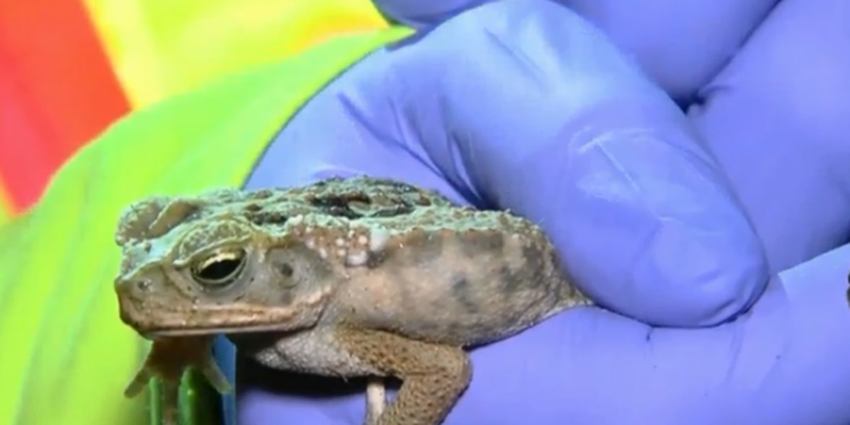 Local woman tracks poisonous toads to save pets