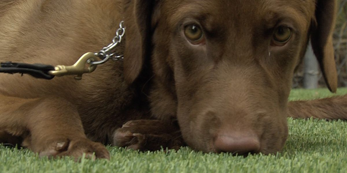 Service animal training company in Palm Beach County to give away free service dog this Christmas