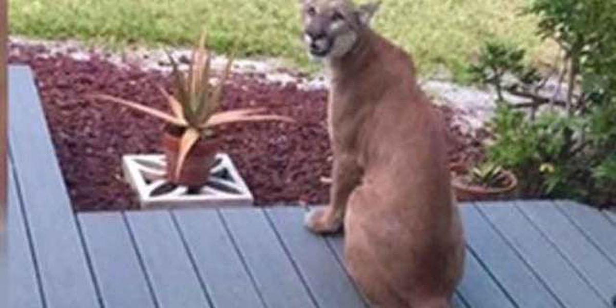Panther photographed on Florida resident's porch