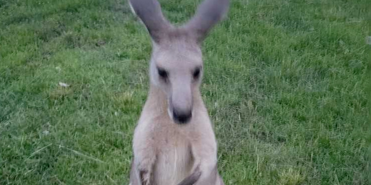 Search continues for escaped kangaroo