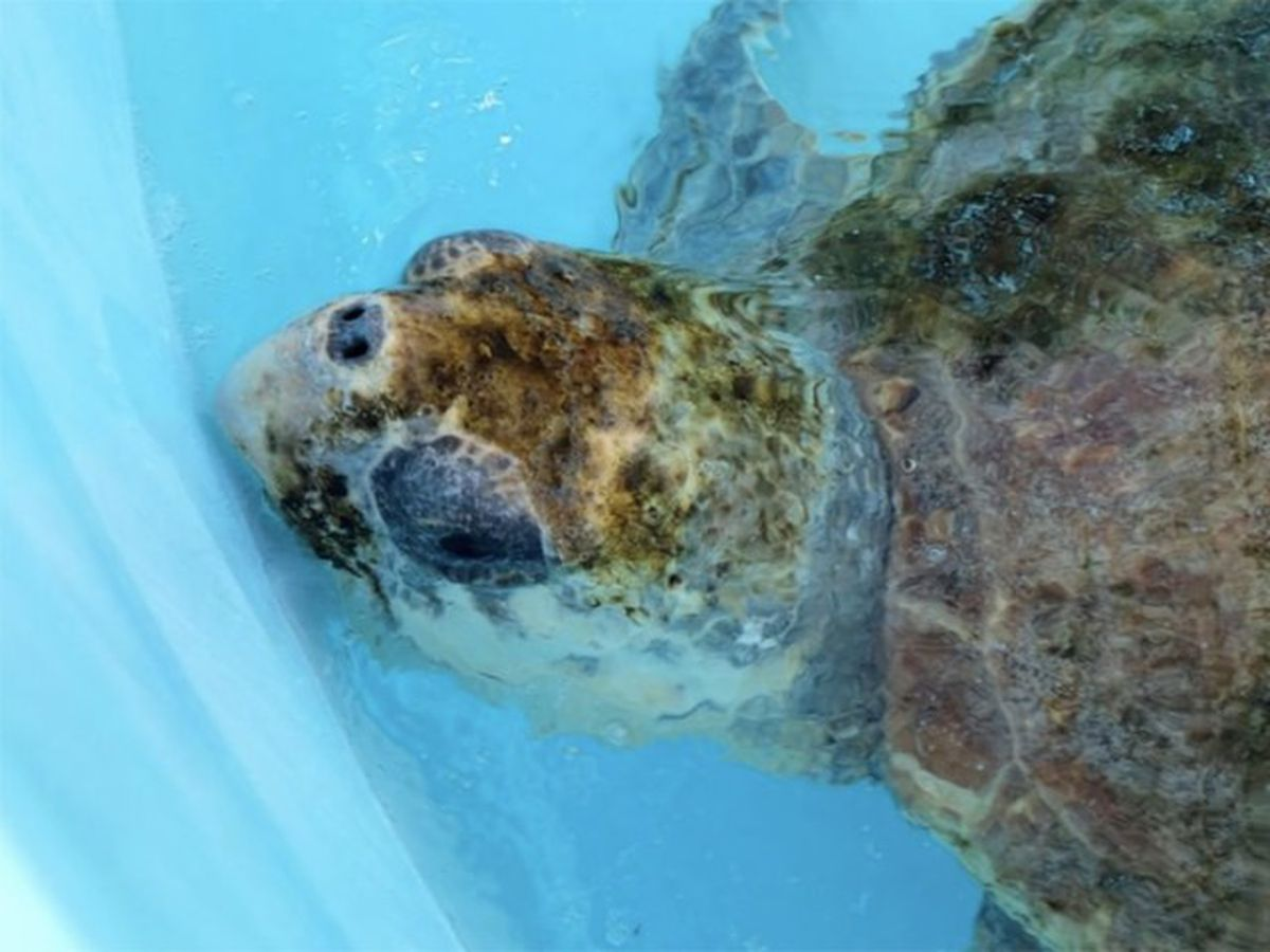 Sea turtles thrive during coronavirus pandemic