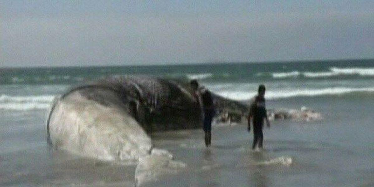 Rarely seen blue whale carcass washes ashore near Oregon beach