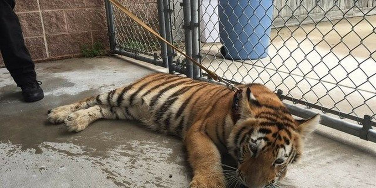 Tiger found roaming near residential area