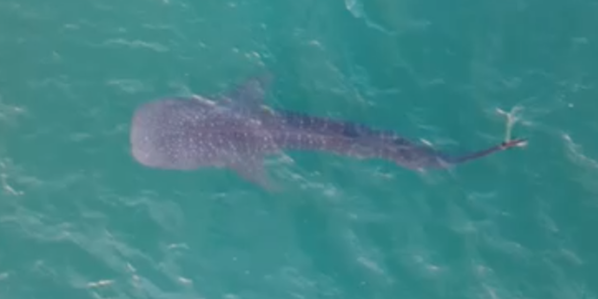 Whale shark spotted near Stuart Beach