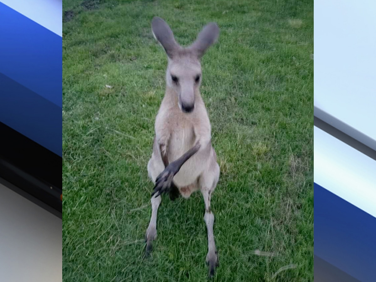 Search for escaped kangaroo in Jupiter Farms