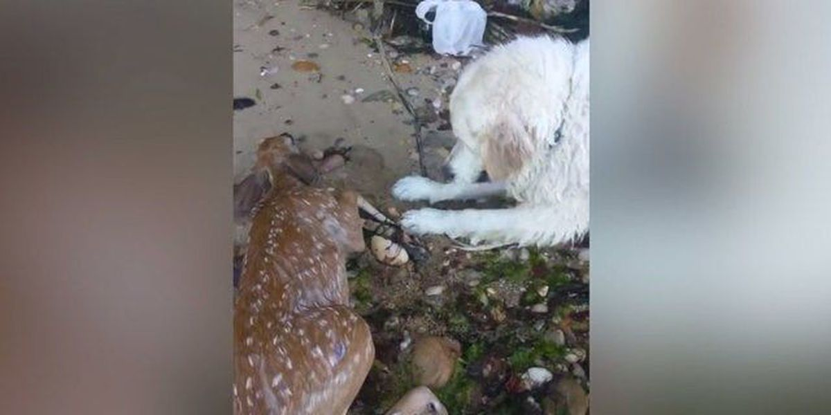 Dog pulls drowning baby deer from water