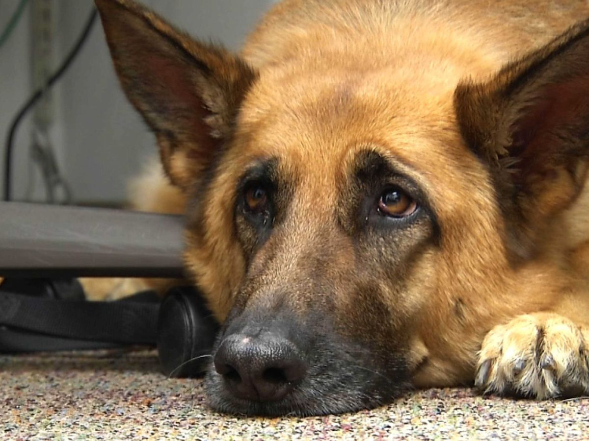 Scientists take a peek behind those sad puppy dog eyes