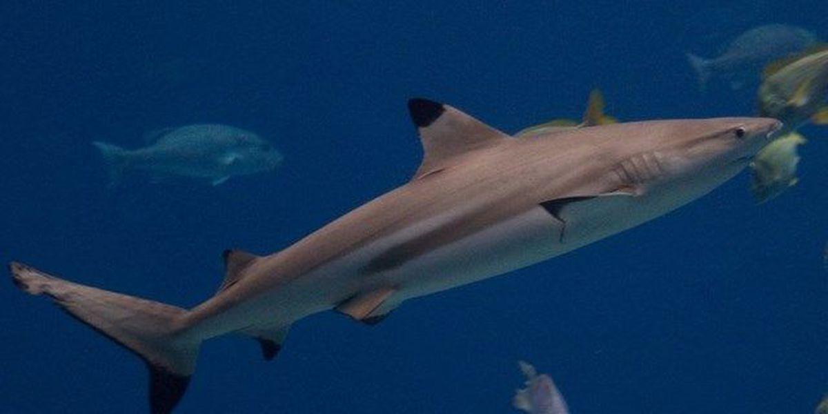 Around 10,000 sharks swarm Palm Beach County coast