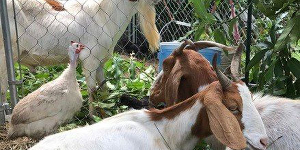 Loxahatchee family says goats stolen from home