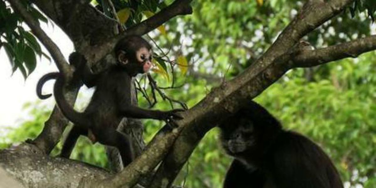 Help name a Mexican spider monkey