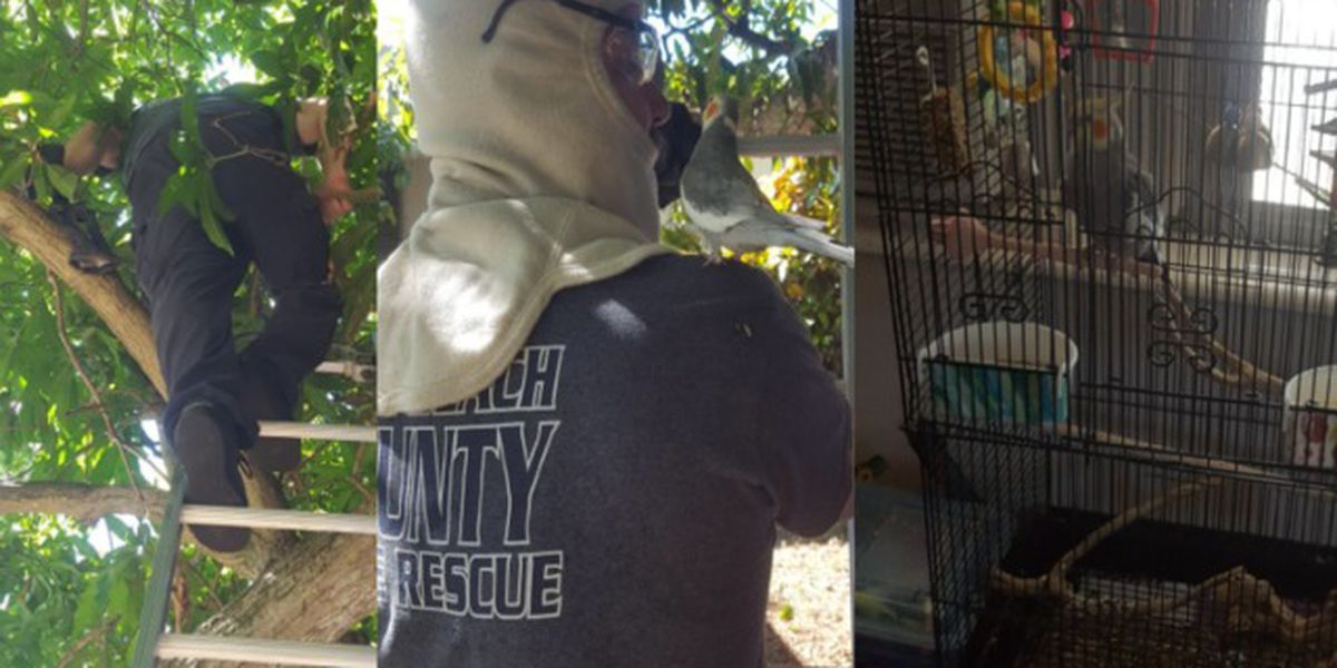 PBCFR crews rescue cockatiel stranded in tree