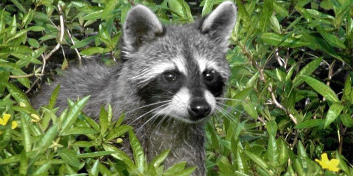 Health officials: Raccoon in Wellington tests positive for rabies