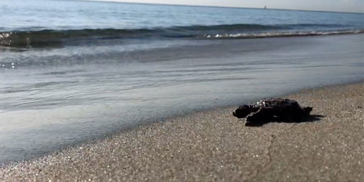 More than 50% of sea turtle nests, 1M cubic yards of sand lost on Palm Beach Co. beaches from Dorian