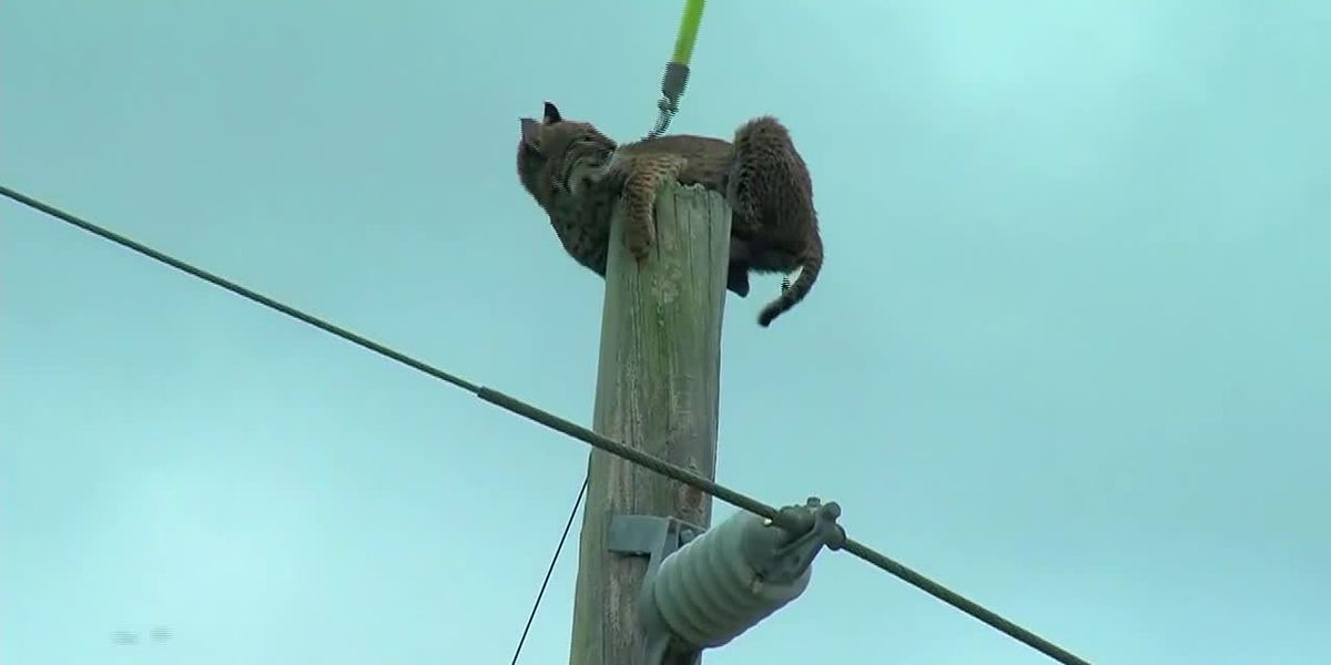 Bobcat on a pole in Florida