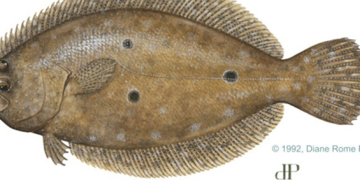 FWC implements new regulations for flounder amid population decline