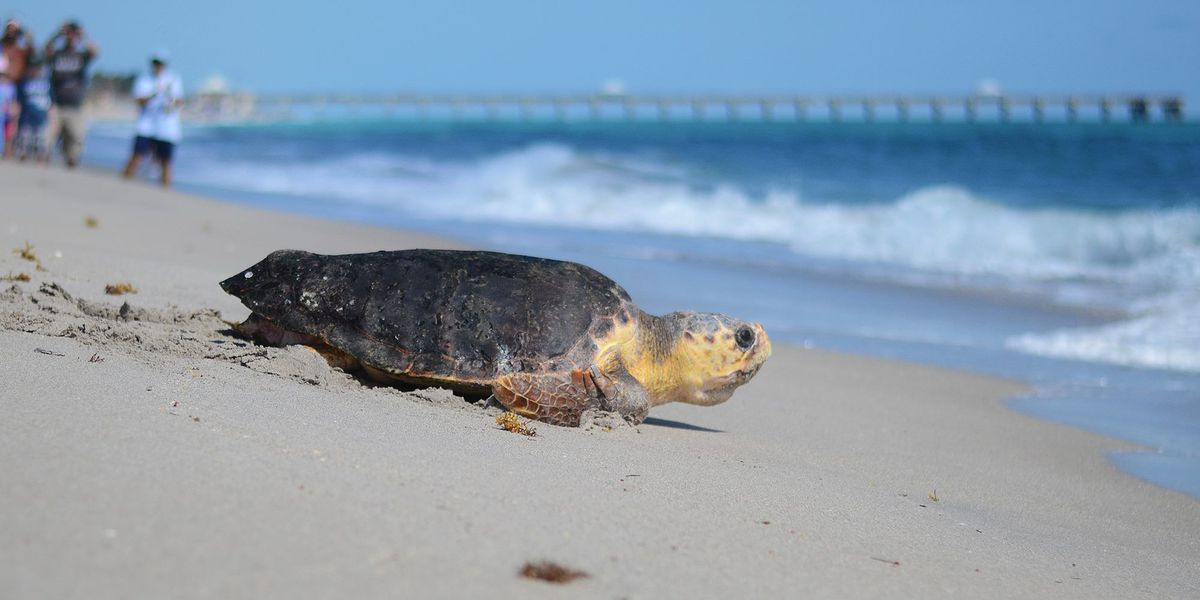 """Hot Ticket: Help save a sea turtle by """"adopting"""" one from Loggerhead Marinelife Center"""