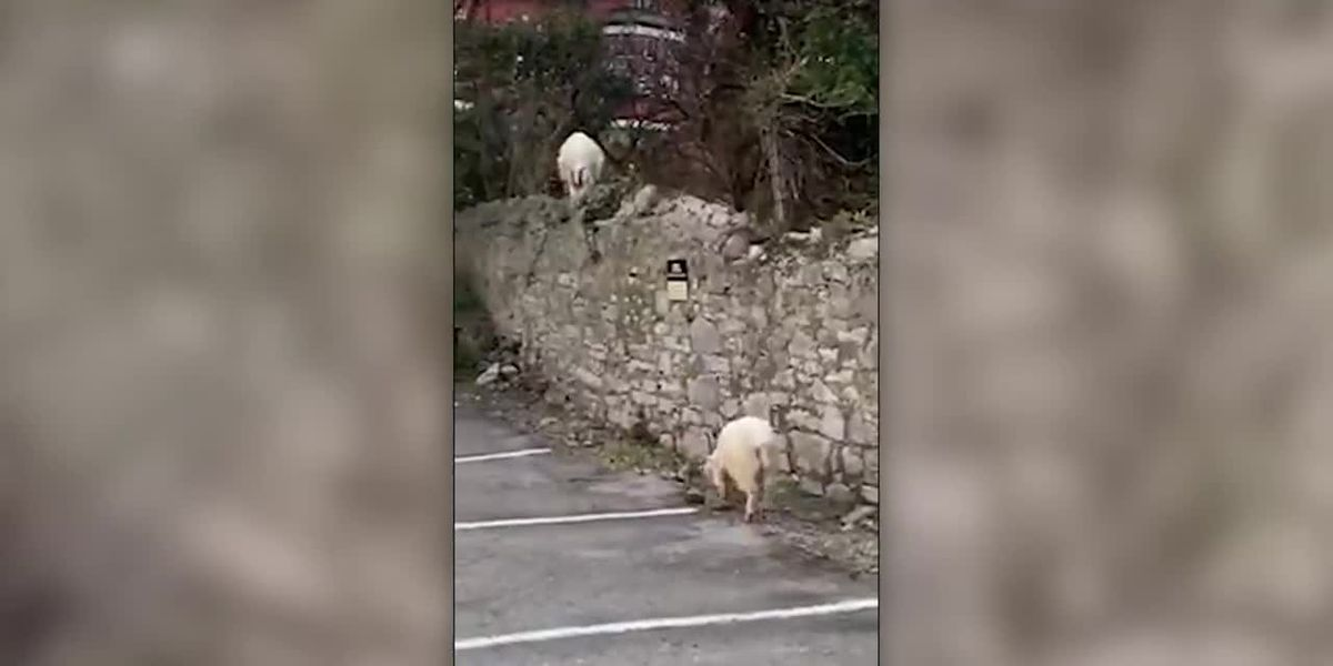UK goats roam streets in Wales
