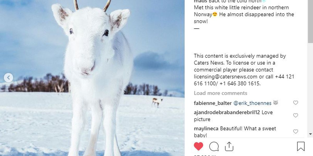 Rare white baby reindeer appears just in time for Christmas
