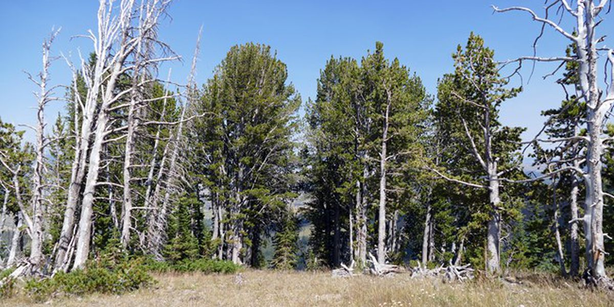 Mountain pine tree that feeds grizzlies is threatened