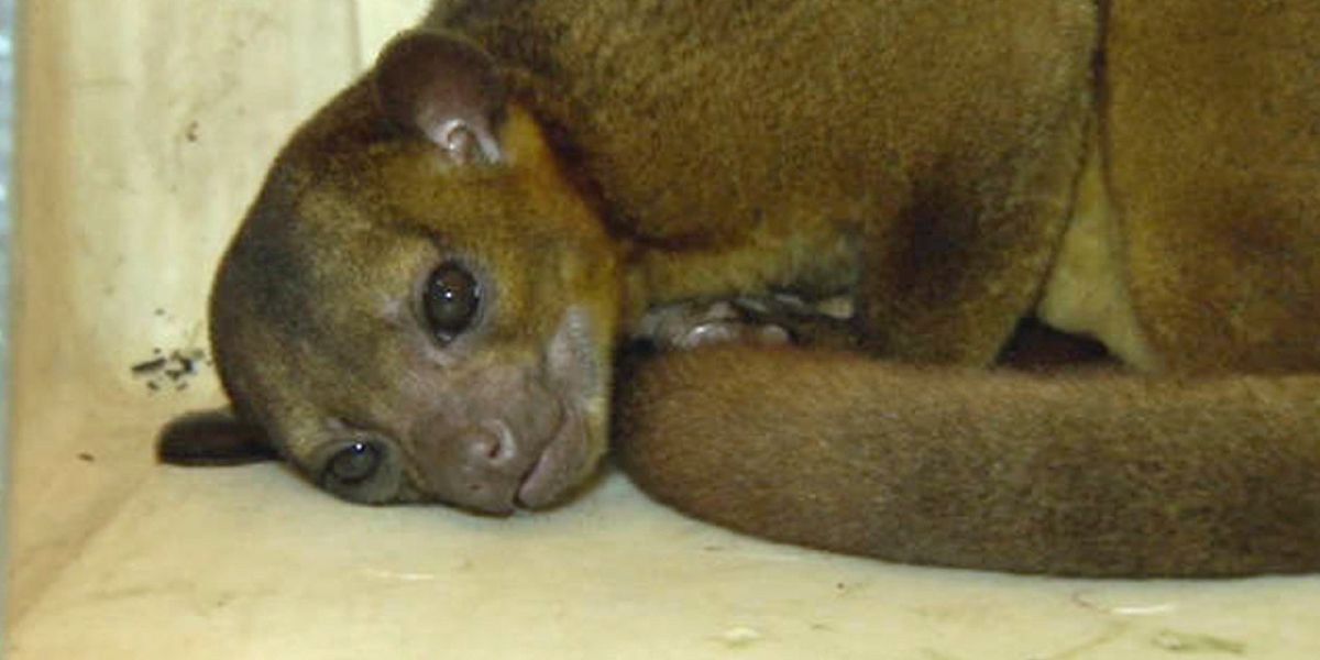 Lake Worth Beach resident bitten by kinkajou