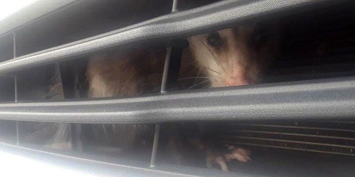 Lucky possum survives getting stuck in car grill