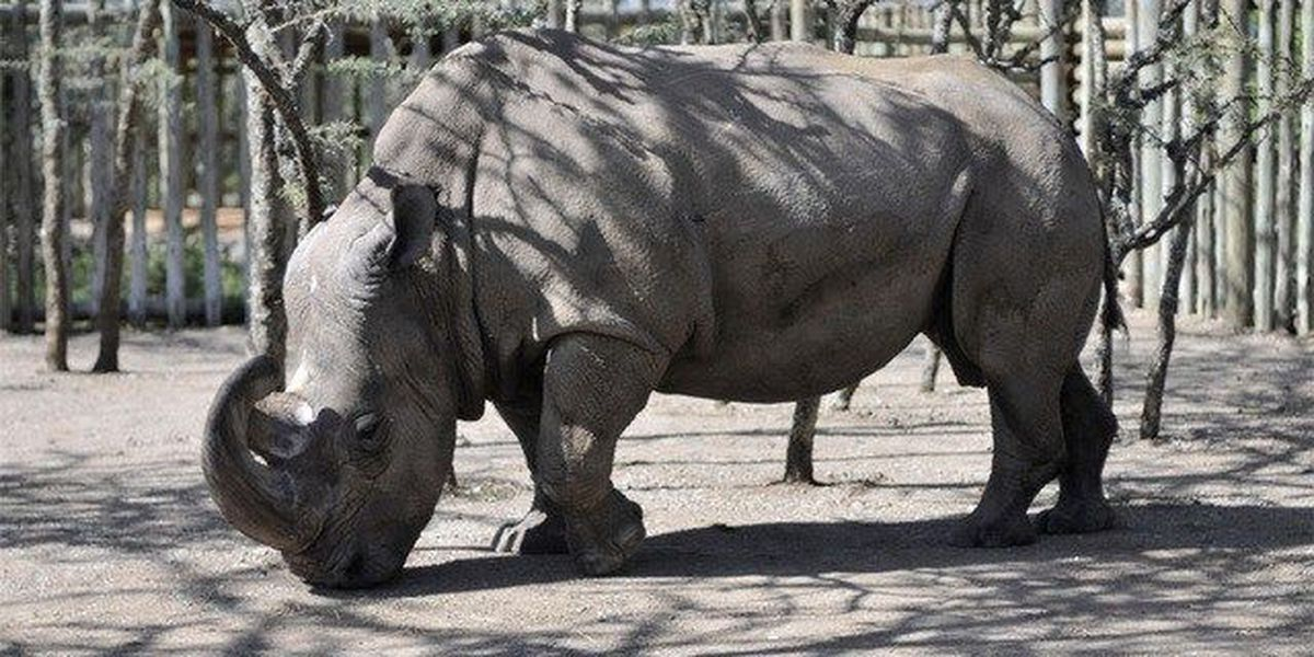 World's last male rhino getting help from Tinder