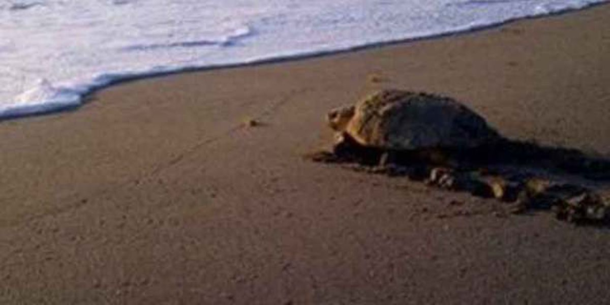 1St loggerhead turtle nest of the season spotted