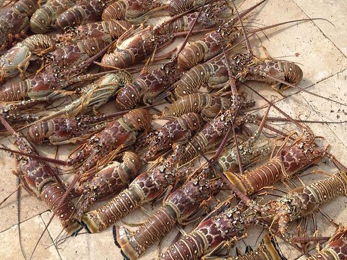 Coronavirus could lead to lower lobster prices
