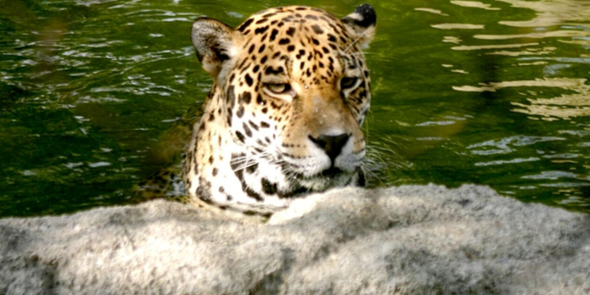 Oldest living female jaguar dies in West Palm