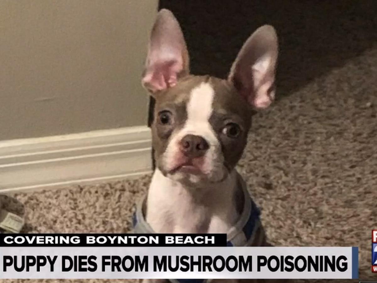 Dog dies in West Boynton Beach after eating toxic mushrooms