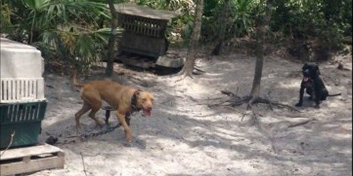 Chained dogs rescued in St. Lucie County