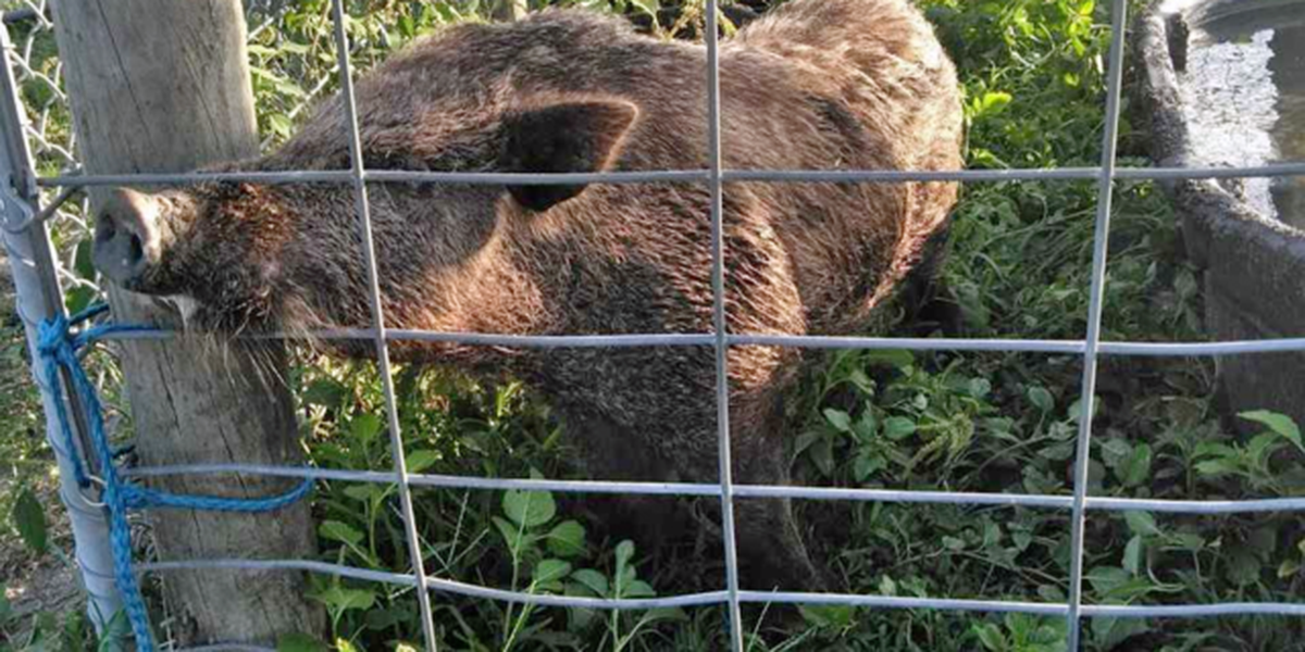 Sheriff's office looking for owner of boar hog