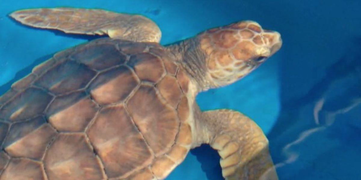 'Sea Turtle Sleepover' events scheduled at Loggerhead Marinelife Center
