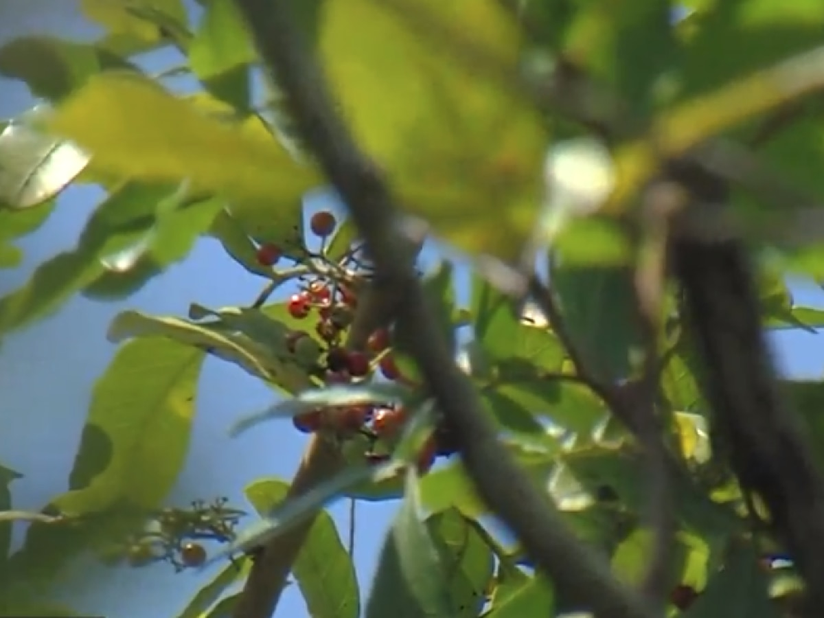 Wellington family faces high fines due to invasive Brazilian pepper trees on property