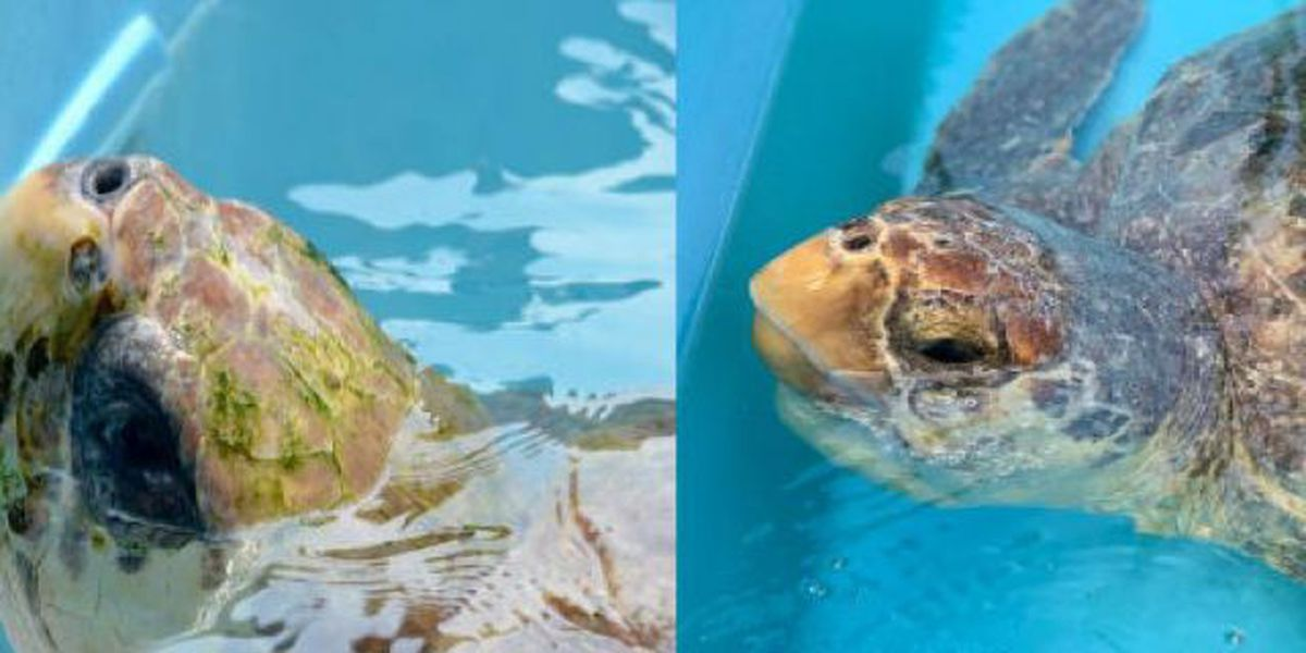 Loggerhead Marinelife Center to release two sea turtles Wednesday