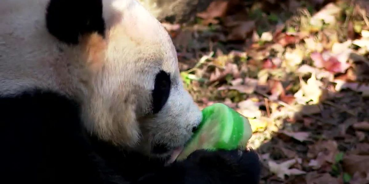 Fans bid adieu to Bei Bei the panda, leaving US for China