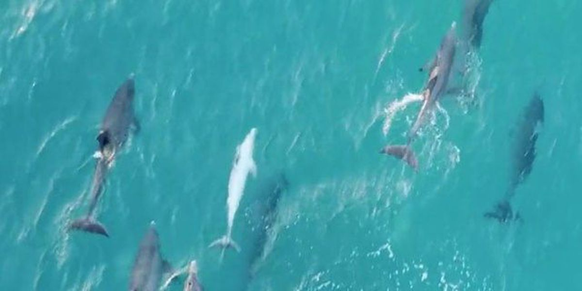 Drone records dolphins near Palm Beach Inlet