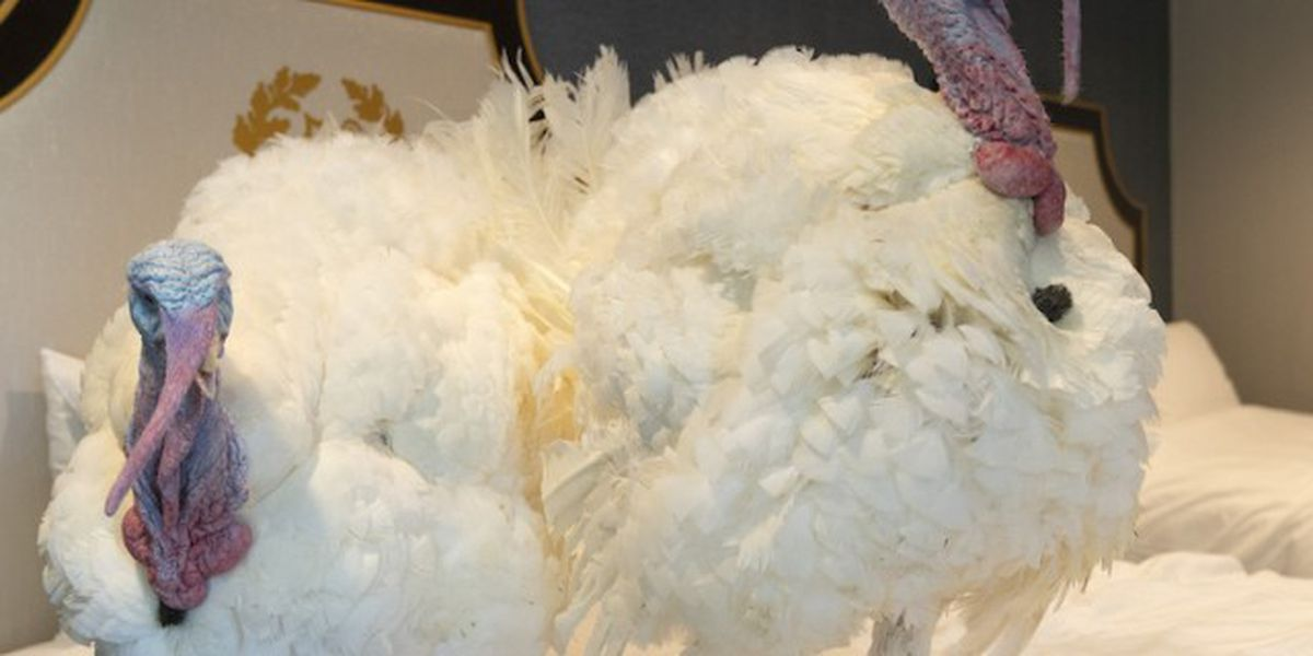 Trump issues pardon to 'Corn,' the 2020 White House turkey
