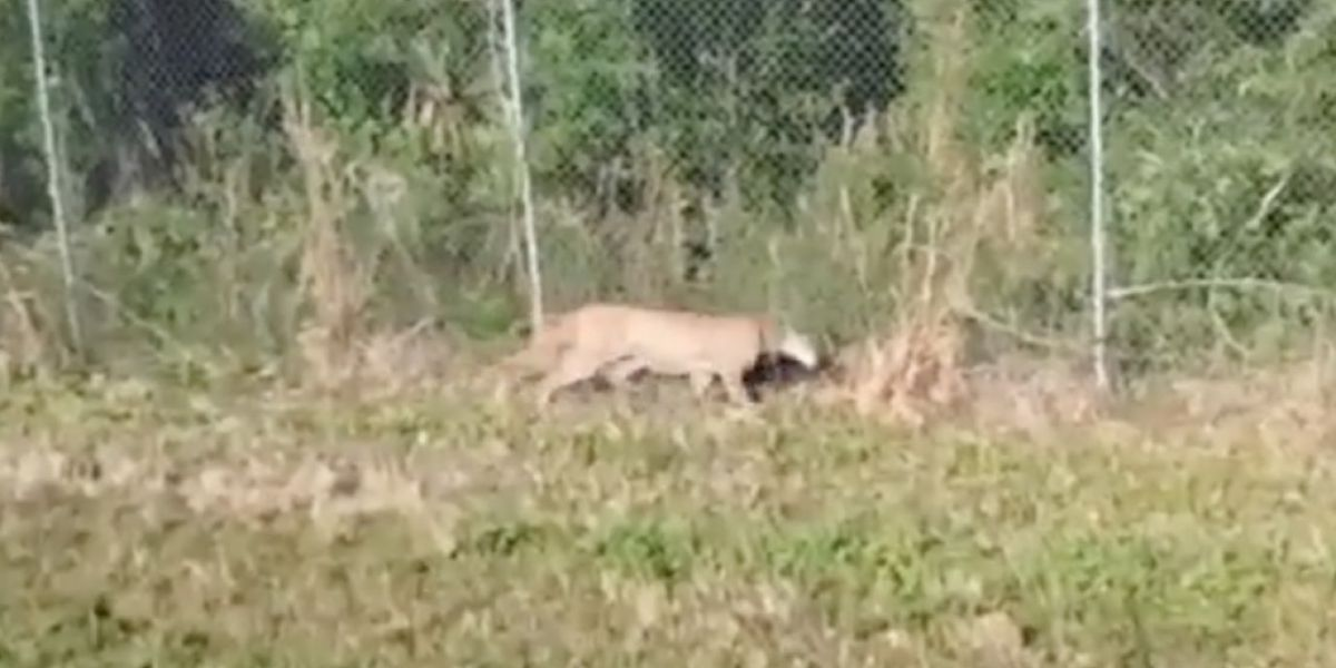 VIDEO: Trapped Florida panther rescued in Collier County