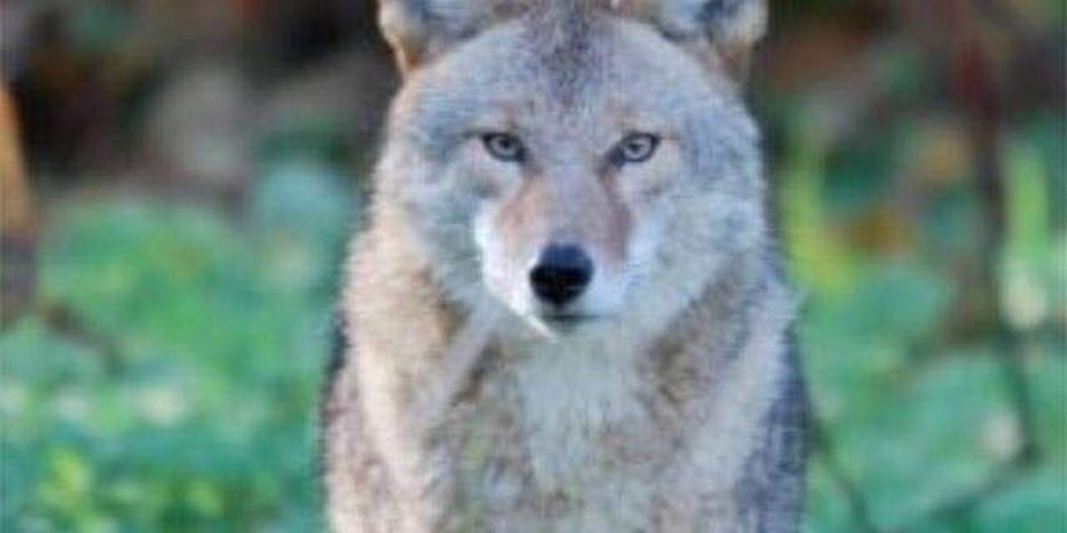 Panhandle parents warned about coyote sightings
